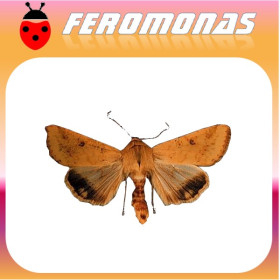 HELIOTHIS (HELICOVERPA) ZEA gusano del grano