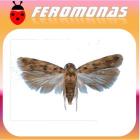PECTINOPHORA GOSSYPIELLA Gusano rosa del algodonero