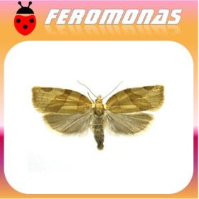 PANDEMIS RIBEANA Polilla tortrix