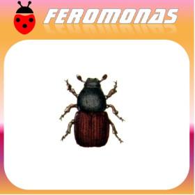 SCOLYTUS SCOLYTUS Escarabajo de la corteza del olmo