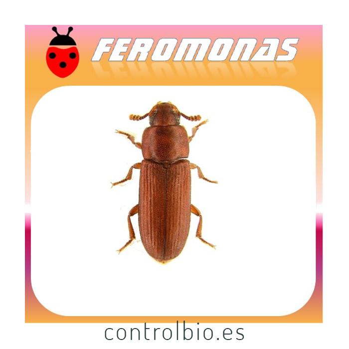TRIBOLIUM CASTANEUM Escarabajo rojo de la harina