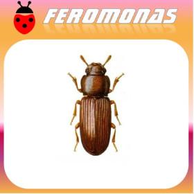 TRIBOLIUM CONFUSUM Escarabajo confuso de la harina