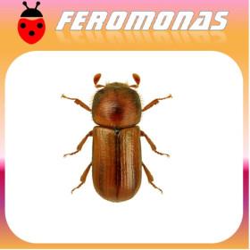 TRYPODENDRON LINEATUM Escarabajo rayado