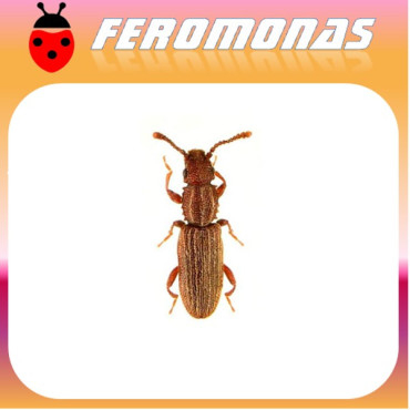 ORYZAEPHILUS SURINAMENSIS Escarabajo del grano con dientes de sierra