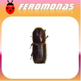 ORTHOTOMICUS EROSUS Escarabajo perforador