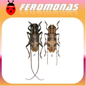 MONOCHAMUS GALLOPROVINCIALIS Longicornio del pino