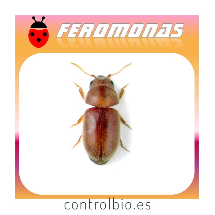 LASIODERMA SERRICORNE Escarabajo del tabaco