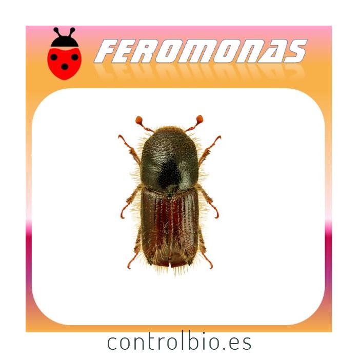 IPS TYPOGRAPHUS Escarabajo de la corteza del pino