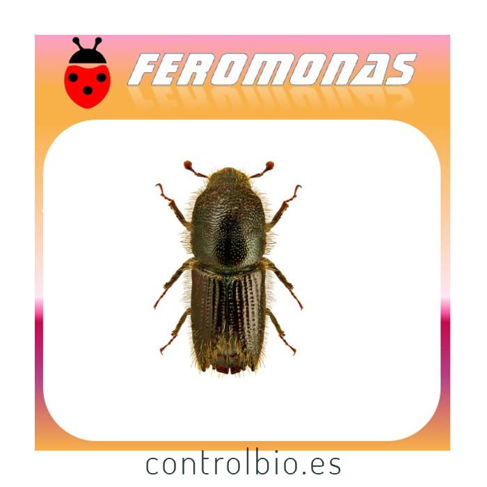 IPS SEXDENTATUS Escarabajo perforador