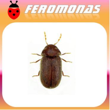 STEGOBIUM PANICEUM Escarabajo de las galletas