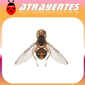 DACUS (BACTOCERA) OLEAE Atrayente de machos