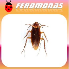 PERIPLANETA AMERICANA cucaracha rubia amaricana