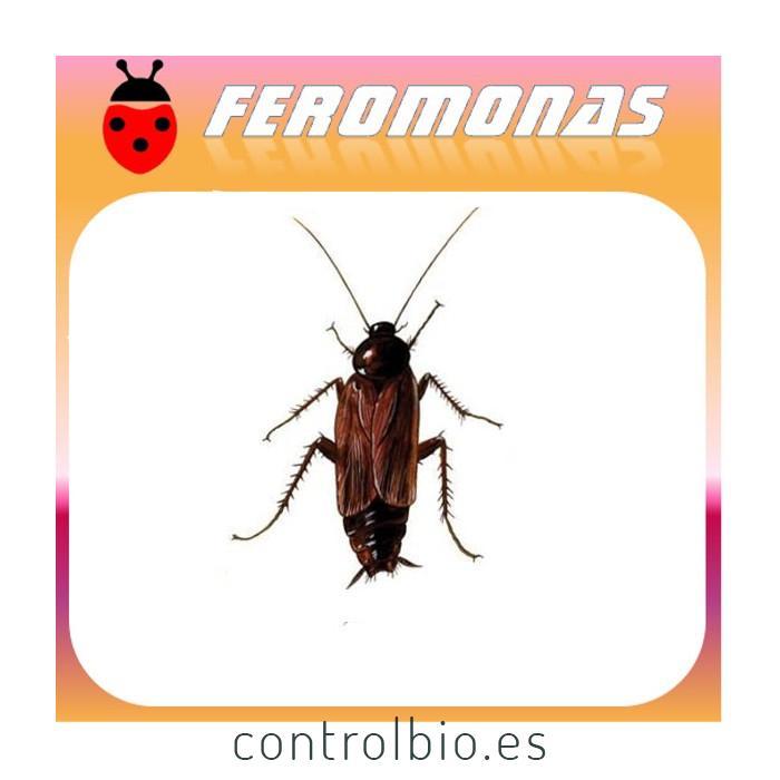 BLATTA ORIENTALIS Cucaracha negra común