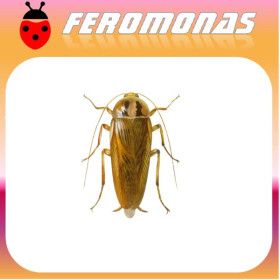 BLATELLA GERMANICA Cucaracha alemana