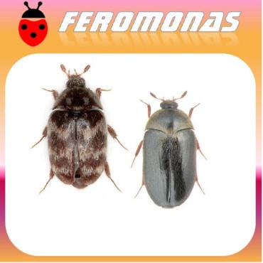 ATTAGENUS SP Escarabajo de las alfombras