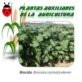 MOSTAZA ABISINIA Brassica carinata 1 kg semillas