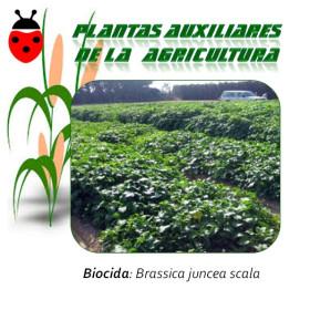 MOSTAZA PARDA Brassica juncea 1 Kg semillas