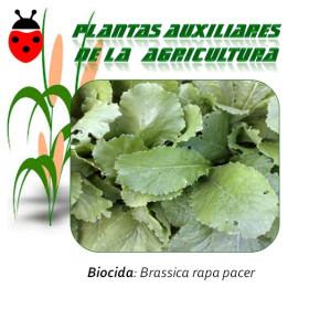 NABO Brassica rapa 1 Kg semillas
