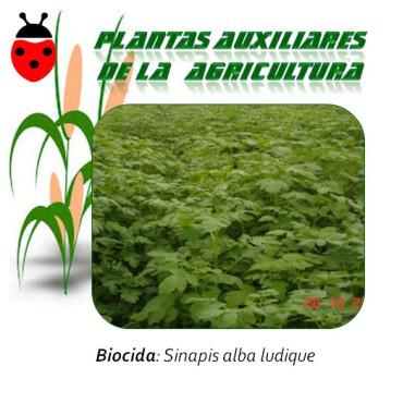 MOSTAZA BLANCA sinapis alba 1 Kg semillas
