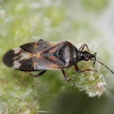 ANTHOBUG 250 Anthocoris nemoralis contra Psyla