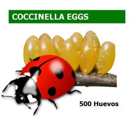 COCCINELLA EGGS 500 huevos Coccinella septempunctata