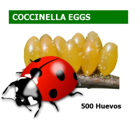 Coccinella septempunctata CBi