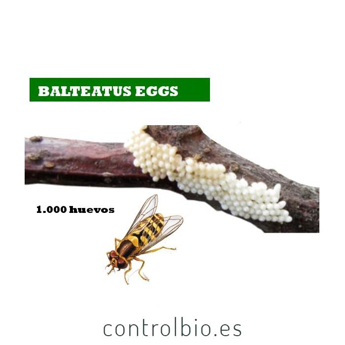 BALTEATUS E 1000 Huevos Episyrhus balteatus