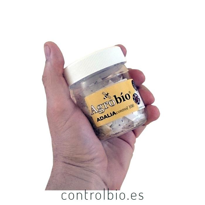 ADALIAcontrol 100 larvas Adalia bipunctata contra pulgón