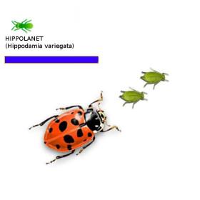 HIPPOLANET 250 Hippodamia mariquita depredadorea de pulgones