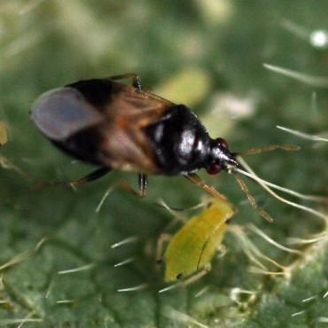 ORICONTROL 1.000 ninfas y adultos de Orius laevigatus enemigo natural de trips