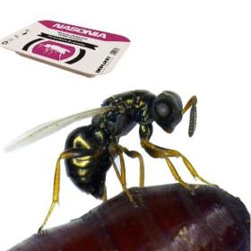 Nasonia vitripennis 15.000 contra moscas