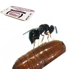 Spalangia cameroni 2.500 enemigo natural de la mosca