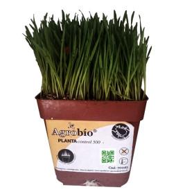 PLANTACONTROL-R banker de Rhopalosiphum padi sobre trigo