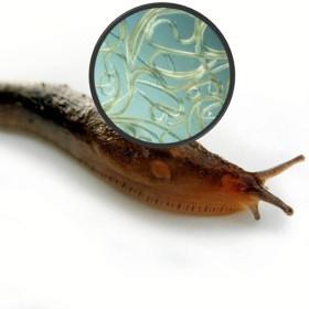 Phasmarhabditis hermaphrodita 12 mill. parásito de babosas