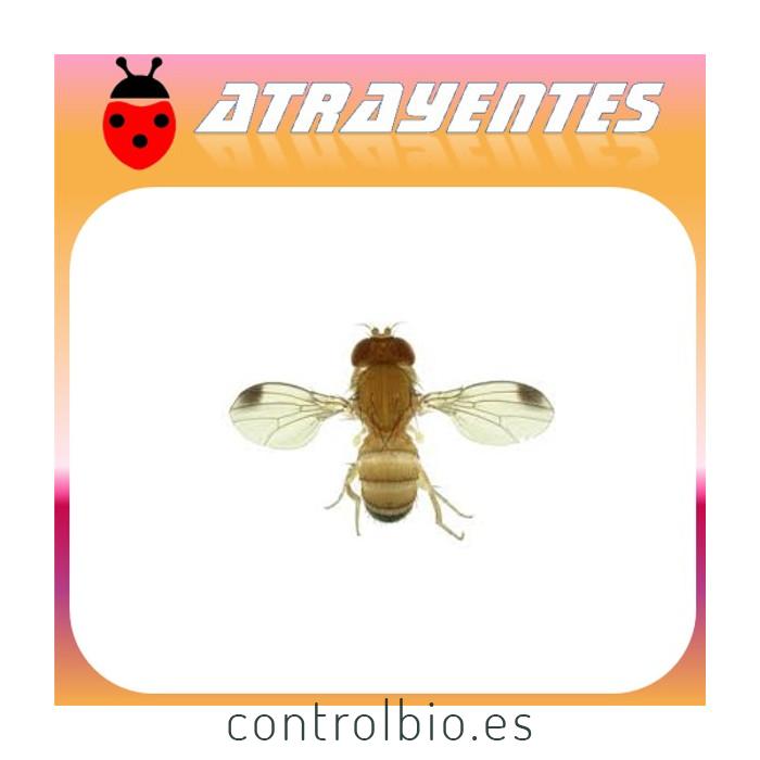 DROSOPHYLLA SP. moscaS del vinagre