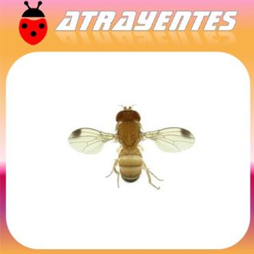 DROSOPHILA SUZUKII mosca del vinagre de alas manchadas