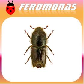 IPS MANNSFELDI Escarabajo perforador