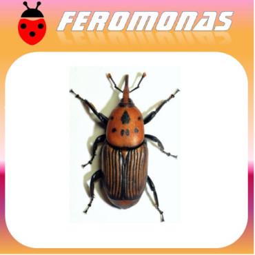 PHERODIS RHYNCHOPHORUS FERRUGINEUS PB