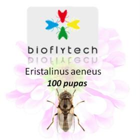Eristalinus aeneus 300 insecto polinizador
