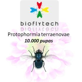Protophormia terraenovae 10000