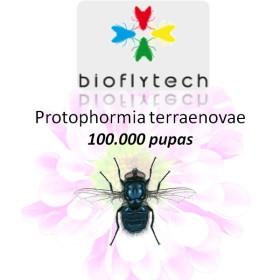 Protophormia terraenovae100000