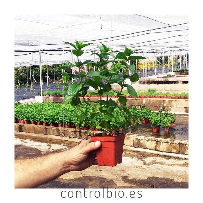 PLANTA DE MENTA Mentha spicata (X 8 ud.)