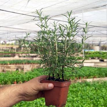 PLANTA DE ROMERO (Rosmarinus officinalis) (X 8 ud.)