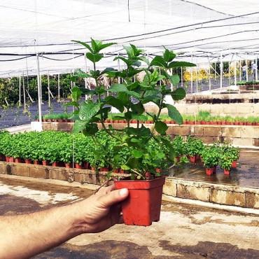 PLANTA DE HIERBABUENA Mentha longifolia (X 8 ud.)