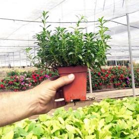 SALVIA (Salvia officinalis) maceta X 6 Ud