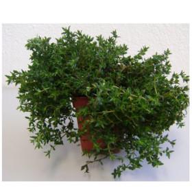 TOMILLO (Thymus vulgaris) maceta X 6 Ud