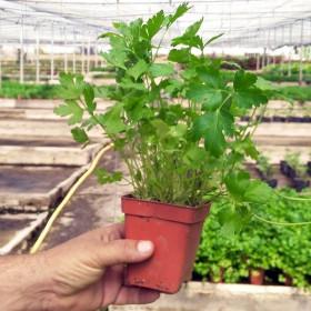 PEREJIL (Petroselinum hortense) maceta X 6 Ud