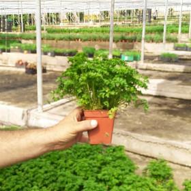 PEREJIL RIZADO (Petroselinum crispum) maceta X 6 Ud