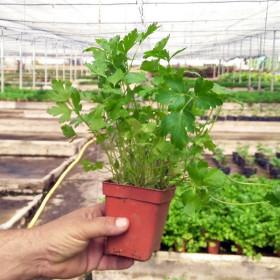 CILANTRO (Coriandrum sativum) maceta X 6 Ud
