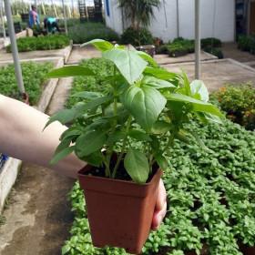 ALBAHACA (Ocimum basilicum) maceta X 6 Ud